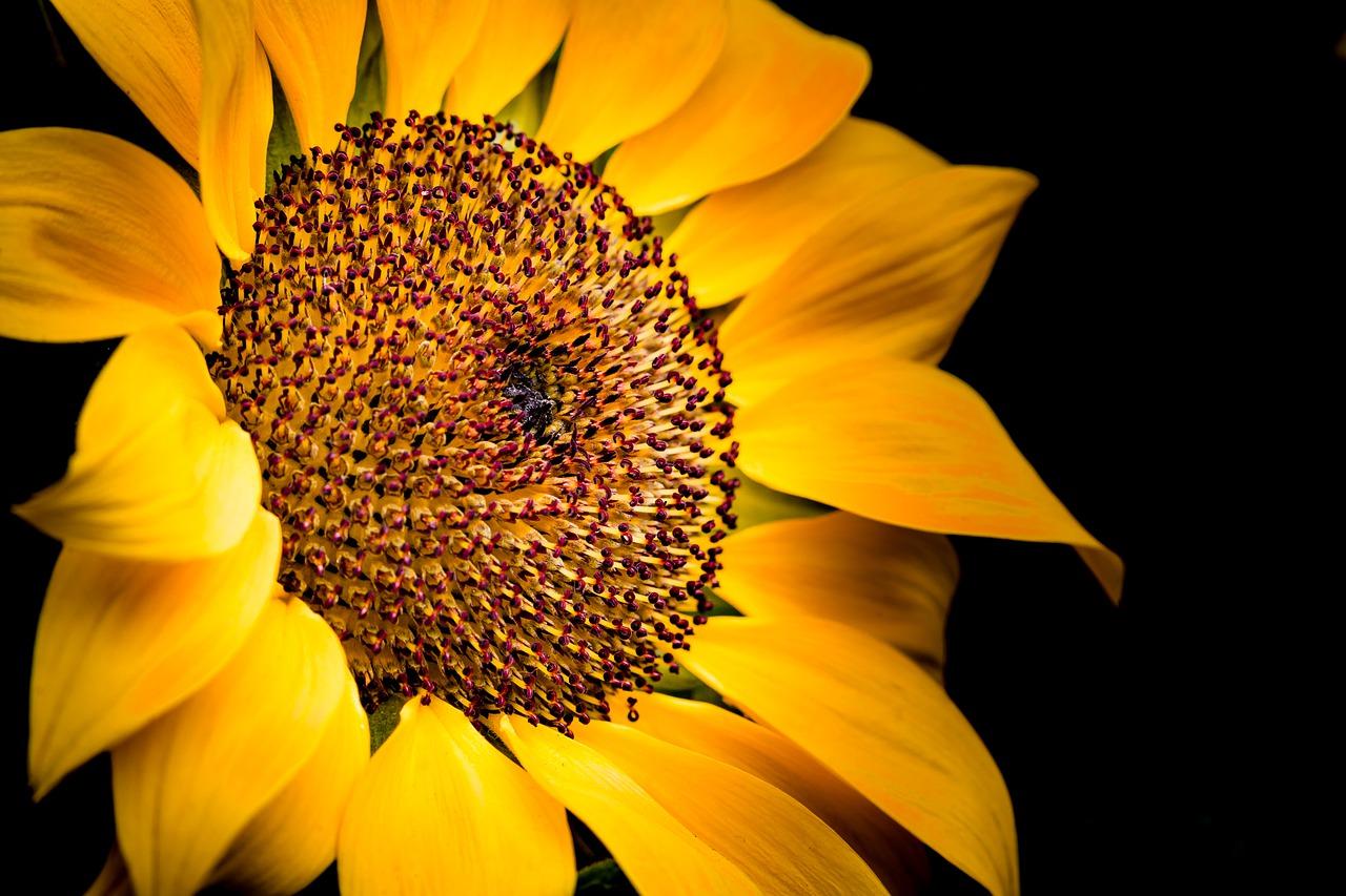 L'huile de tournesol est idéale pour la fabrication du liniment oléocalcaire pour les personnes à la peau sensible, c'est-à-dire les peaux pittas